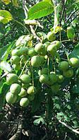 Саженцы грецкого ореха Кочерженко (ПРИВИТЫЙ) однолетний