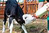 Рекомендации по уходу за коровой в фермерском хозяйстве