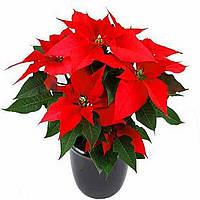 Пуансетия красная, очень красивое растение