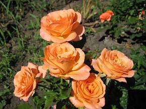 Роза Импала Кордана(Impala Kordana) Патио Акция, фото 2