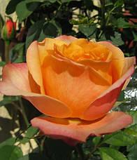 Роза Импала Кордана(Impala Kordana) Патио Акция, фото 3