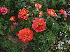 Роза Братья Гримм (Brothers Grimm Fairy Tale) Форибунда Акция, фото 2