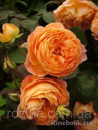 """Саджанці троянди """"Леді Емма Гамільтон"""""""