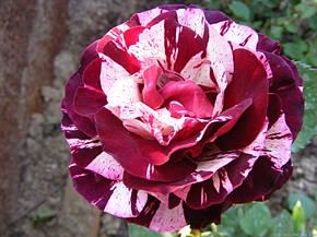 Роза Нью Имэджин (New Imagine) Флорибунда' Акция, фото 2
