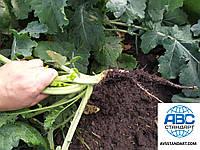 Семена ярового рапса Раудис РС под глифосат. Гибрид раннего рапса под раундап Раудис. Отличная устойчивость к приморозкам и засухе 9 баллов.