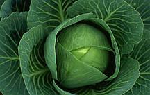 Семена капусты белокачянной Джетодор F1
