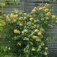 Опора для растений Шпалера 2000*1000 (д13)