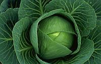 Купить Семена капусты белокачянной Блоктор F1