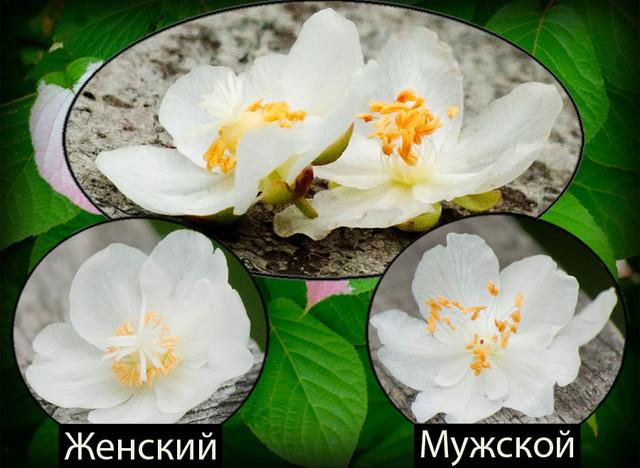 актинидия, актинидия купить, актинидия саженцы, актинидия саженцы купить, заказать саженцы, актинидия в Украине
