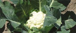 Купить Семена цветной капусты Лівінгстон F1