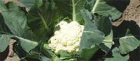 Семена цветной капусты Лівінгстон F1