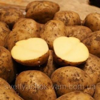 Картофель Бельмонда среднеранний сорт приспосабливается к любой почве и климату класс 1Р ф 35-55мм Германия