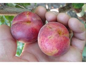 Саженцы гибридов: представлены сорта разных межвидовых гибридов плодовых деревьев.