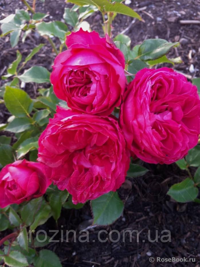 """Саджанці троянди """"Кинг Георг"""""""