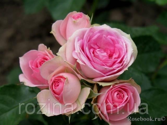 Саженцы розы Мими Эден