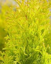 Туя западная 'Sunny Smaragd', (C1.5, h 20-30), фото 2