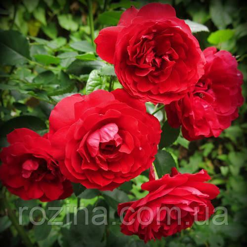 Саженцы розы Бельканто