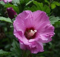 Гибискус сирийский(мих расцветок) (саженцы)