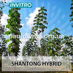 Однорічні саджанці Павловнії Shan Tong (1.5 м.—2 м.) invitro