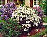 Гибискус садовый 3 шт (саженцы мих)