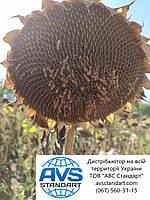 Подсолнечник НСХ 498 под Гранстар Про, Подсолнечник устойчив к гербициду Экспресс 50 грамм и засухе., фото 1