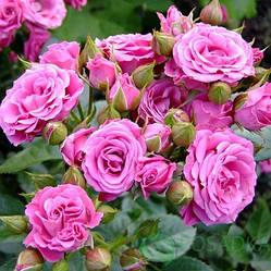 Саженцы Роза Pink Spray (Пинк Спрей) (лучшая цена купить оптом и в розницу)