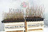 Голубика сорт Блюголд, в кассетах 6 мес h 18-30 см, фото 2