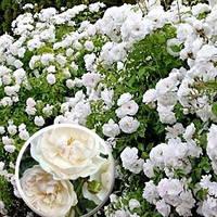 Роза почвопокровная Свани (Swany)