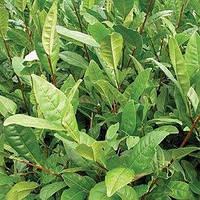 Зеленого чая вода (гидролат)