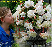 Бегония Odorata Angelique (Одората Анжелика) клубни