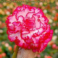 Бегония Prima donna ™ Picotee White-Pink (Прима Донна Пикоте Бело-Розовая) клубни.
