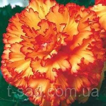 Бегония Prima donna ™ Picotee Yellow - Red(Прима Донна Пикоте Желто - Красная) клубни.