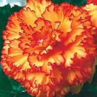Бегония Prima donna ™ Picotee Yellow - Red(Прима Донна Пикоте Желто - Красная) клубни., фото 1