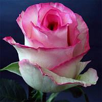 Роза Белла Вита (Bella Vita), фото 1