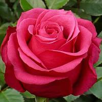 Розы Черри О (Cherry-O), фото 1