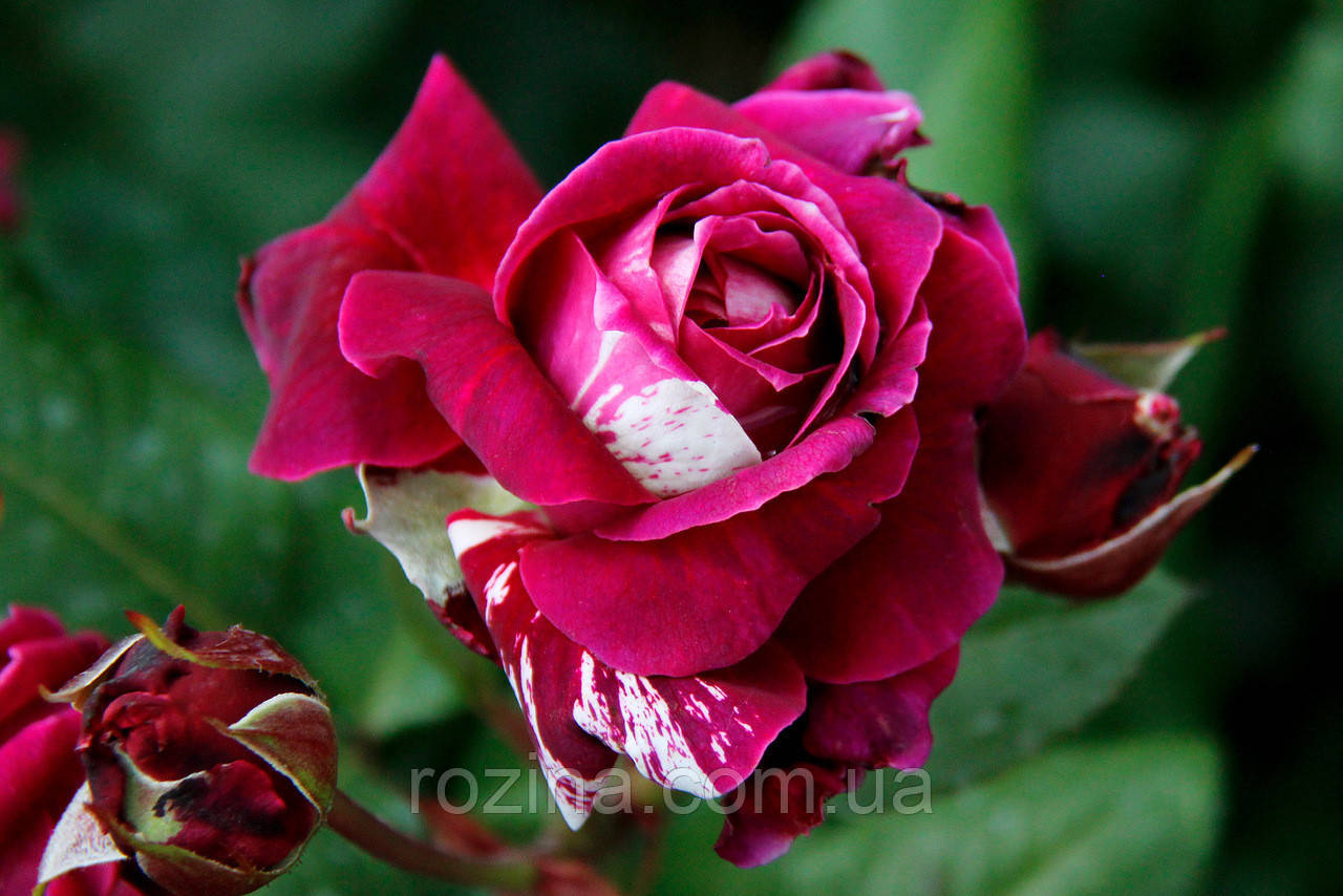 """Саджанці троянди """"Романза"""""""