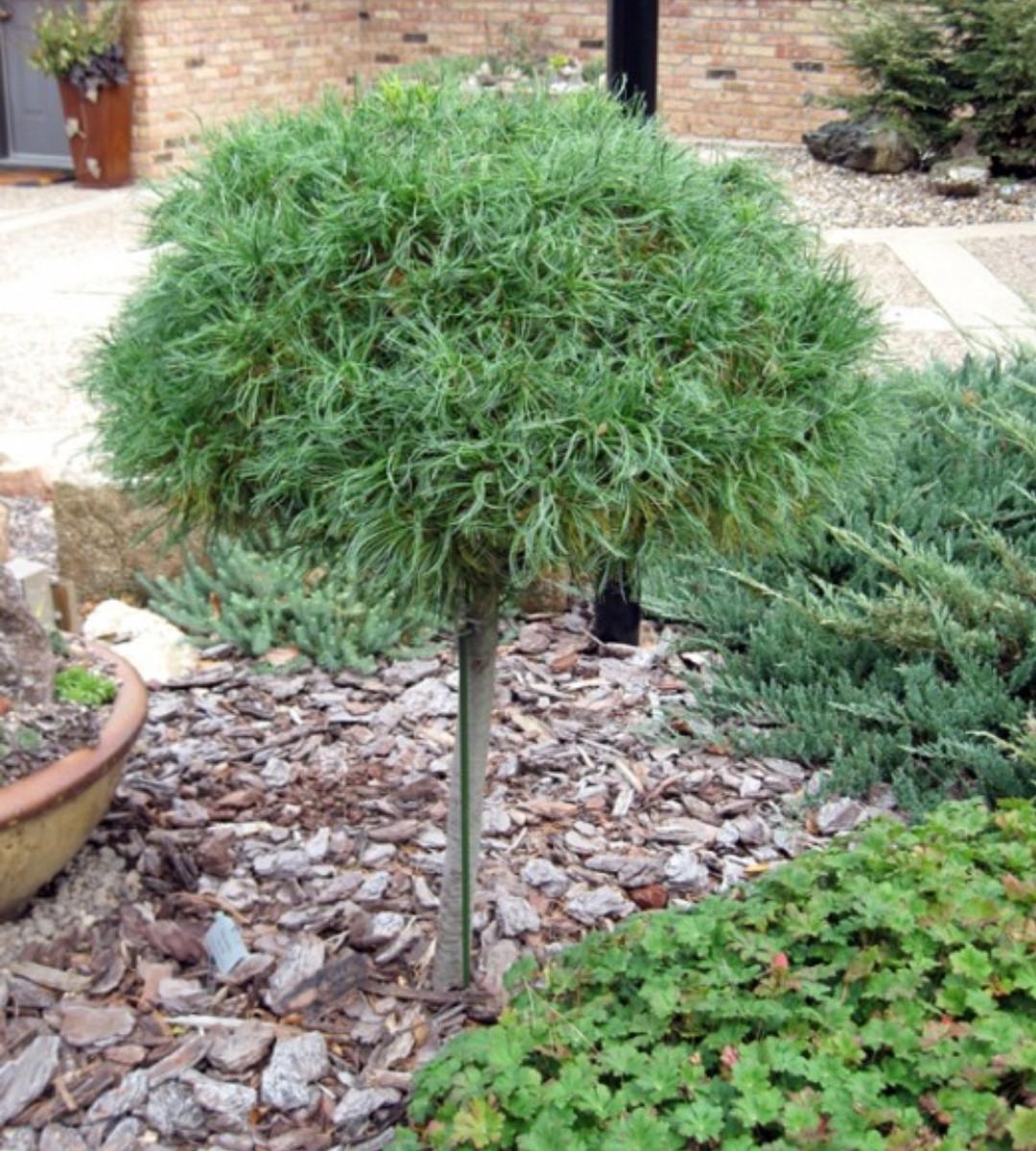 Pinus strobus Green Twist