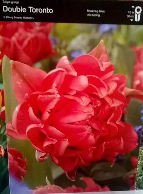 Тюльпан багатоквітковий Double Toronto