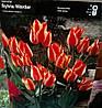 Тюльпан багатоквітковий Sylvia Walder