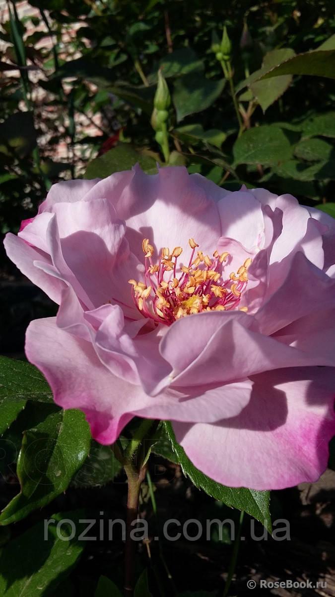 """Саджанці троянди """"Одисей"""""""