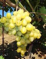 Супер экстра  - саженцы винограда