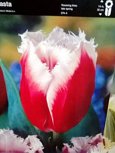 Тюльпан оторочений Canasta