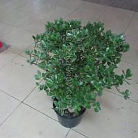 Крассула денежное дерево 90-100см.