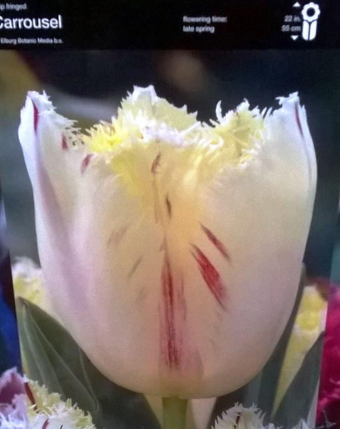 Тюльпан оторочений Carrousel