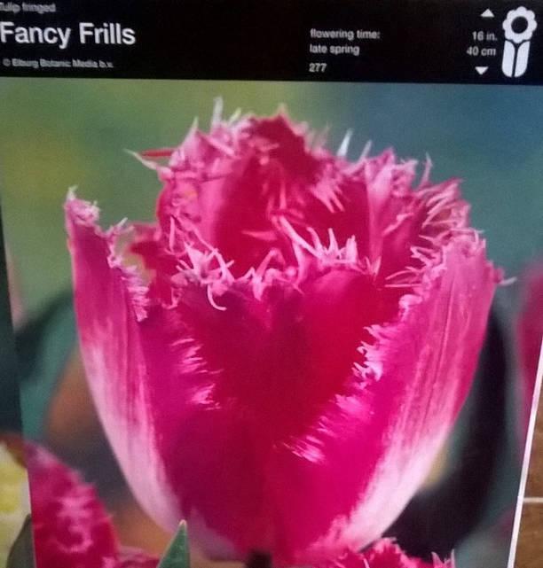 Тюльпан оторочений Fancy Frills