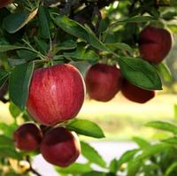 Саджанці яблуні Джонагоред Супра