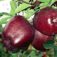 Саджанці яблуні Ерлі Ред Ван
