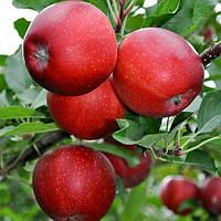 Саджанці яблуні Гала