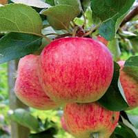Саджанці яблуні Аріва