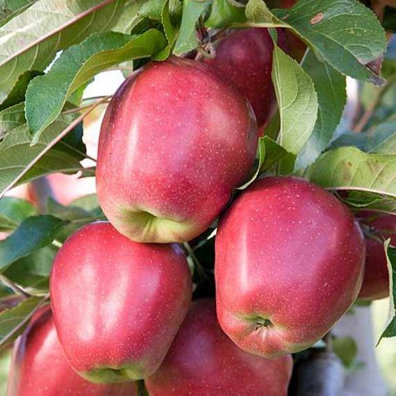 Саджанці яблуні Глостер